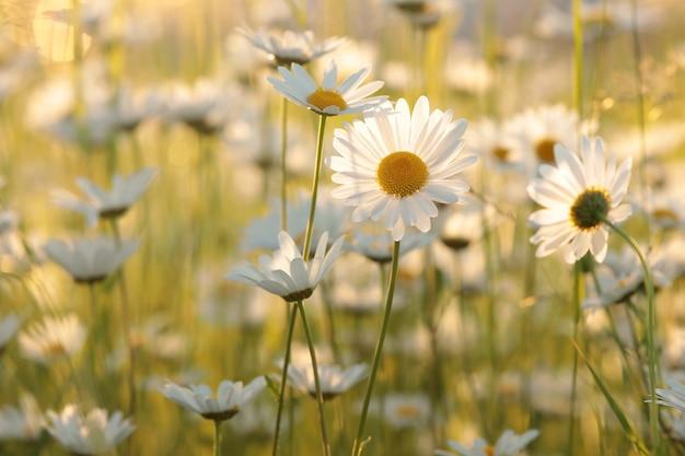 Margaridas em um prado primavera ao entardecer