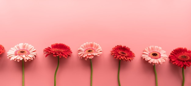 Margaridas gerbera rosa e vermelha em uma matéria-prima em um fundo rosa. sequência e simetria. configuração plana de design mínimo. cores pastel