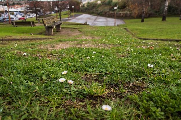 Margaridas na grama verde