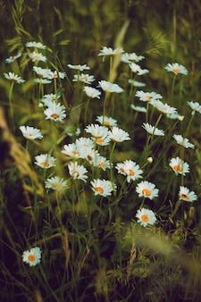 Margaridas no campo.