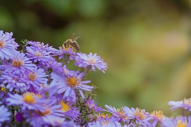 Margaridas roxas pequenas com flores de fundo natural de verão