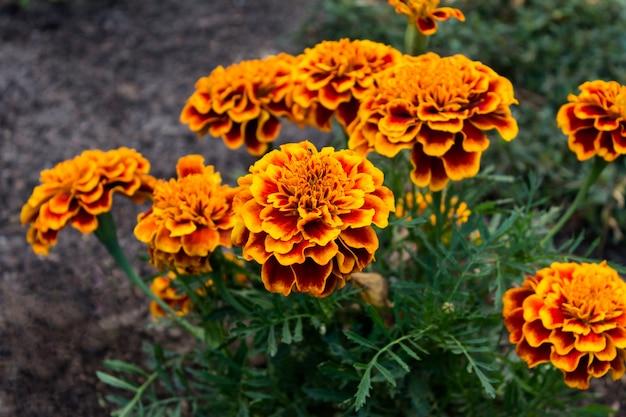 Margem de flores de calêndula no jardim