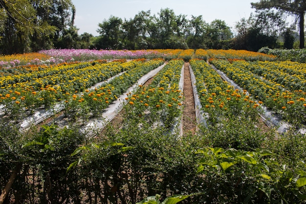 Marigold amarelo em jardim de flores