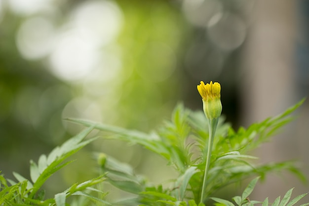 Marigold amarelo no jardim de flores.
