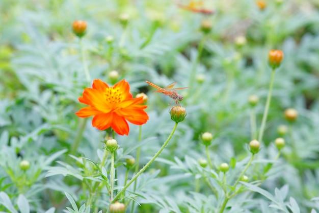 Marigold francês flor amarela tagetes patula
