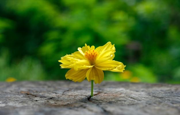 Marigold na mesa de madeira de grunge