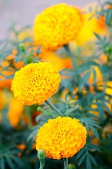 Marigold ro amarelo flor jardim folha verde fundo branco