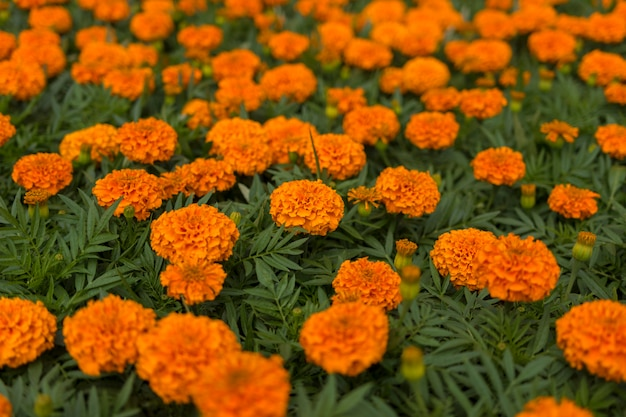 Marigolds alaranjados no canteiro de flores.