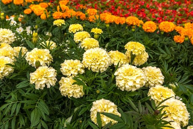 Marigolds brancos e alaranjados na cama de flor.