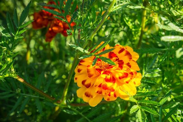 Marigolds de flores em um canteiro de flores sobre um fundo de relva verde