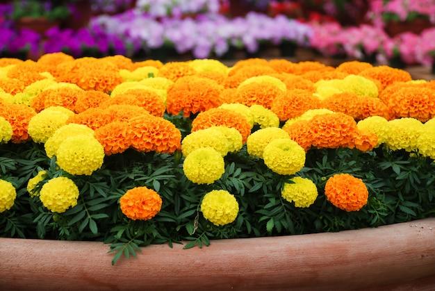 Marigolds mixed color (tagetes erecta, calêndula mexicana)