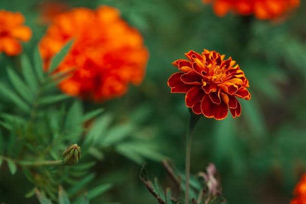 Marigolds vintage surpreendentes crescem entre uma rica vegetação.