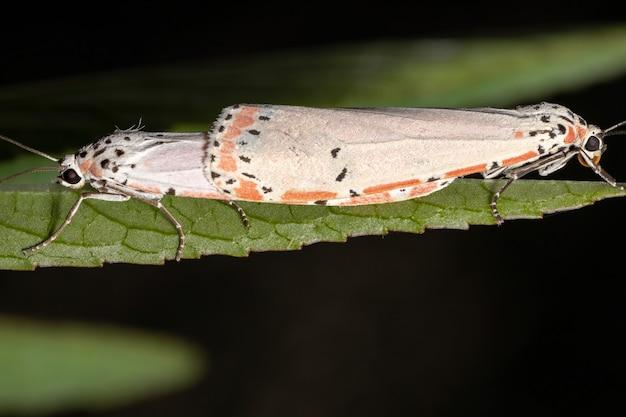 Mariposa bella ornamentada adulta da espécie utetheisa ornatrix copulando na folha de rosela da espécie hibiscus sabdariffa