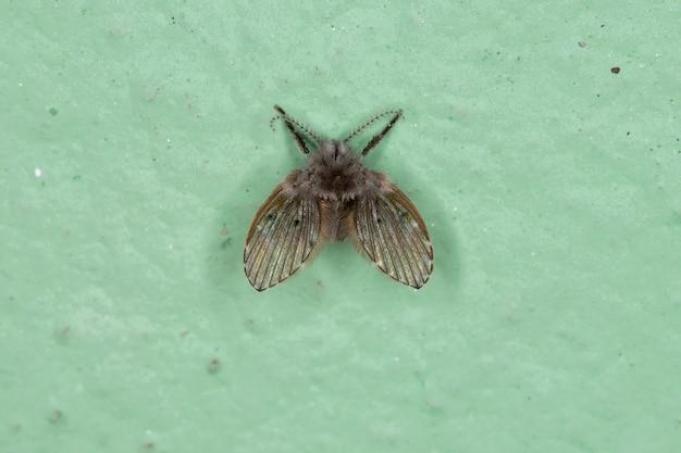 Mariposa de banheiro adulto mariposa da espécie clogmia albipunctata