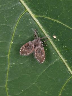 Mariposa do banheiro da subfamília psychodinae