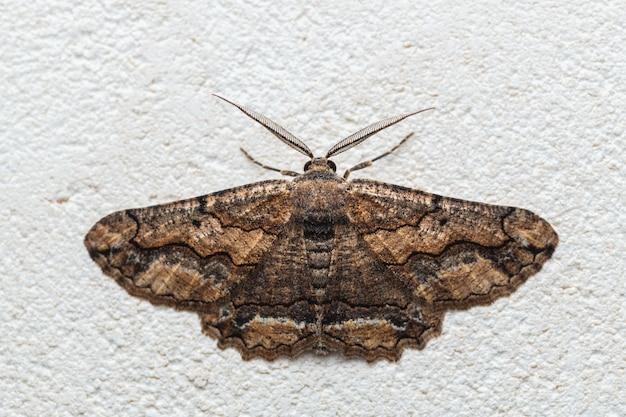 Mariposa na família geometridae (menophra japygiaria)