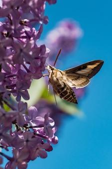 Mariposa tentando beber o néctar de uma flor lilás da seringa