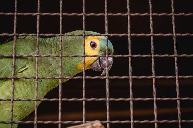 Maritaca, pequeno papagaio da família dos papagaios. ave do brasil em cativeiro, crime ambiental, sofrimento animal
