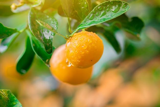 Marmelada de kumquat fruta alaranjada fresca com gotas na árvore