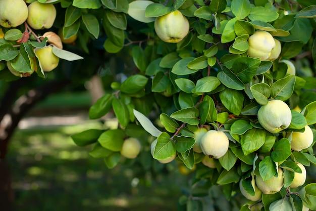 Marmelo amarelo maduro cresce em uma árvore de marmelo com folhagem verde no outono eco jardim. o marmelo de grandes frutos na árvore está pronto para colher. maçãs orgânicas penduradas em um galho de árvore em um pomar de maçãs.