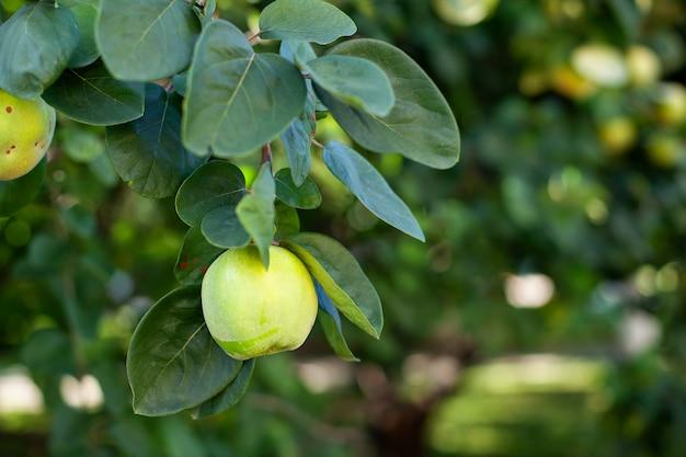 Marmelo no galho. maçãs orgânicas de marmelo natural na árvore para o outono. marmelo no jardim rústico. uma maçã em uma árvore em um jardim de outono no outono. conceito de colheita. vitaminas, vegetarianismo, frutas.