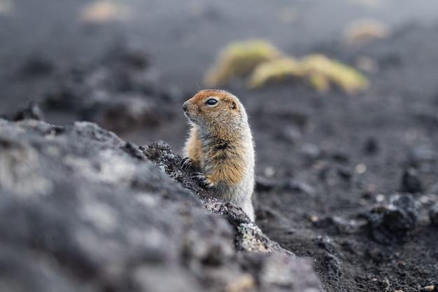 Marmota engraçada com pêlo fofo