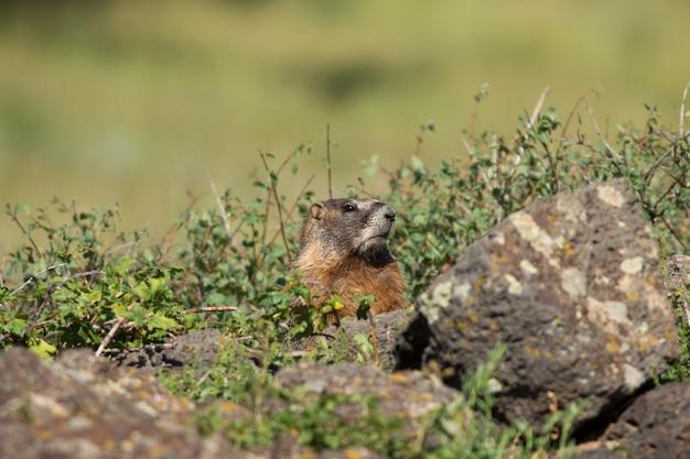 Marmota espreita sobre rochas em utah