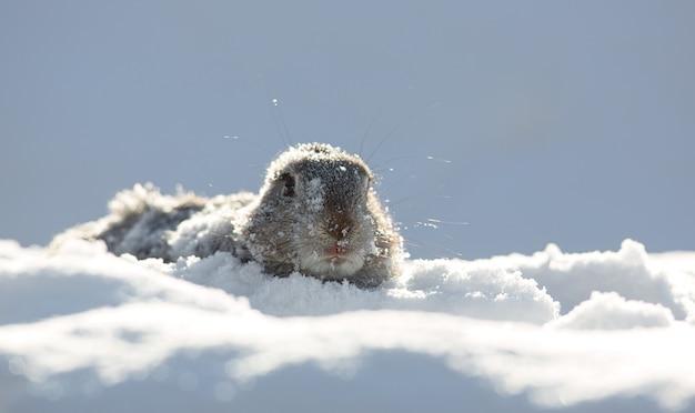 Marmota parece fora da toca suny daygroundhog sombra daymarmot