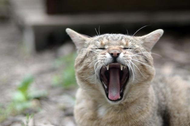 Marrom gato tigrado doméstico bocejando no quintal verde turva