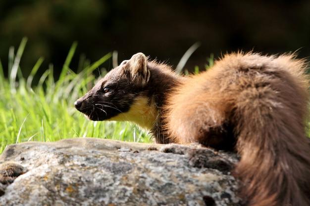 Marta de pinheiro de manhã cedo, marte marte, vertebrado, marta, marte, mamíferos