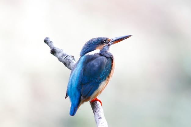 Martim-pescador comum alcedo atthis belas aves fêmeas da tailândia