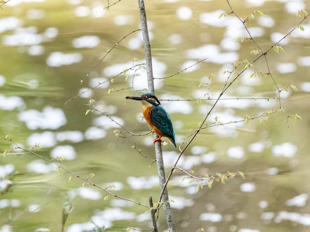 Martim-pescador comum empoleirado acima de um lago coberto de flores de cerejeira caídas