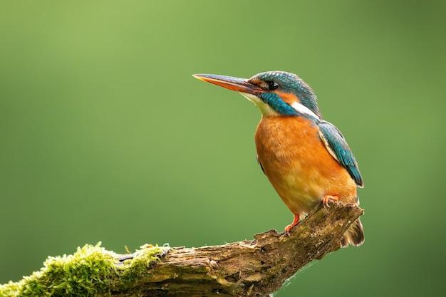 Martim-pescador comum olhando para árvore com espaço para texto