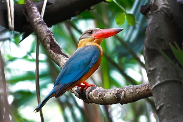 Martim-pescador-de-bico-cegonha pelargopsis capensis belas aves da tailândia