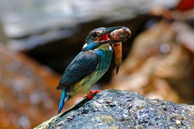 Martim-pescador-de-cauda-azul alcedo euryzona belo macho aves da tailândia