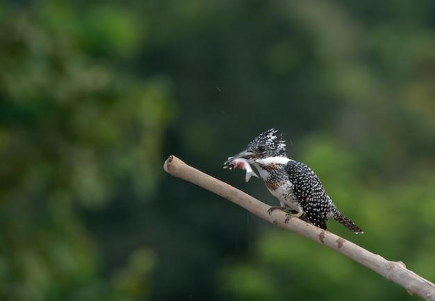 Martim-pescador-de-crista com seu café da manhã pela manhã