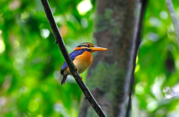 Martim-pescador-de-garganta-amarela actenoides concretus belos pássaros machos da tailândia