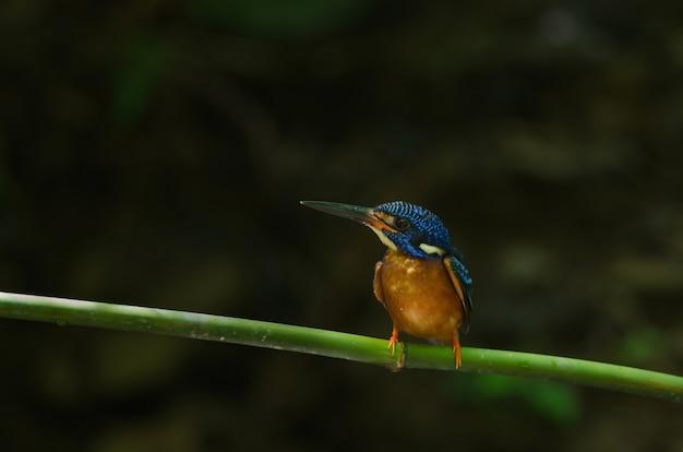 Martim-pescador-de-orelha-azul (alcedo meninting)