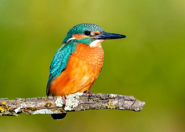 Martim-pescador empoleirado em um galho