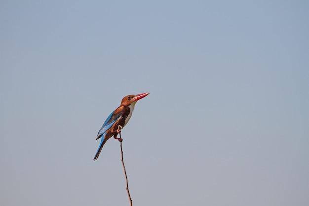 Martinho pescatore branco-throated bonito empoleirado em um galho