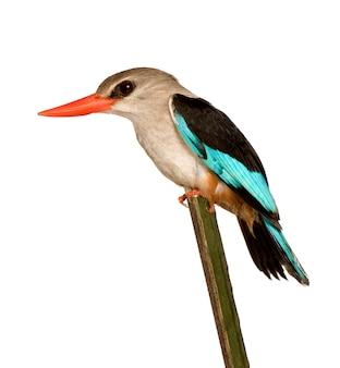 Martinho pescatore da floresta - senegalensis feliz isolado.