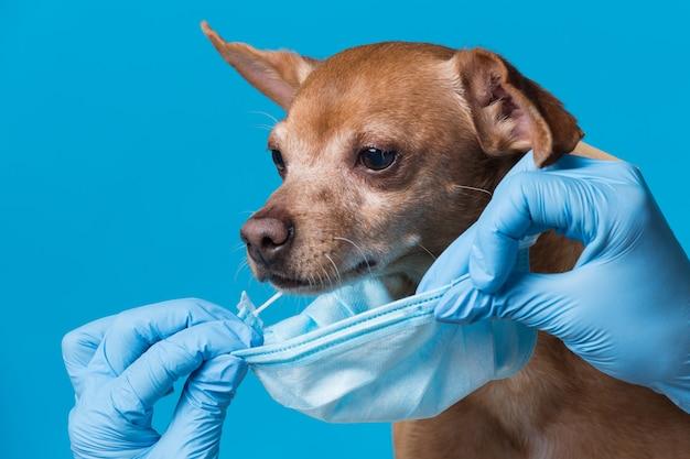 Máscara médica é colocada na cara de um cachorro marrom, o conceito de proteção contra a pandemia de coronavírus