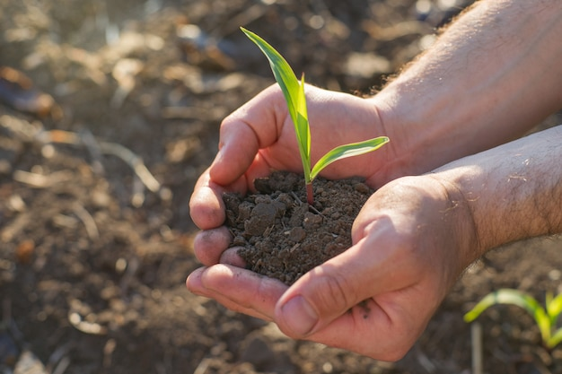 Masculinas mãos segurando uma planta brotam.