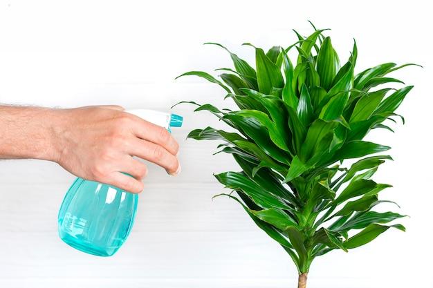 Masculino mão segura o pulverizador e pulveriza dracaena perfumado de plantas da casa cuidados com as plantas, conceito de decoração para casa
