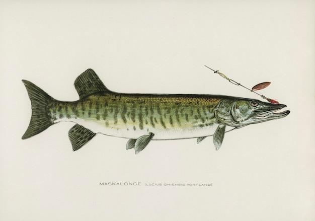 Maskalonge (lucius ohiensis; kirtland) ilustrado por sherman f. denton (1856-1937)
