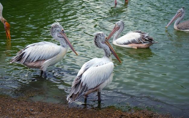 Massas de pássaros pelican no zoológico.