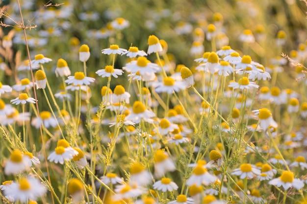 Matricaria chamomille em aglomerados floridos-aromáticos de flores de longas cabeças caçadas na luz do sol