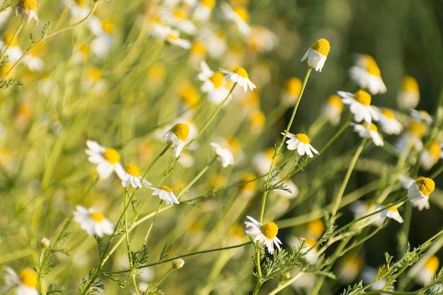 Matricaria chamomille em aglomerados floridos-aromáticos de flores de longas cabeças caçadas