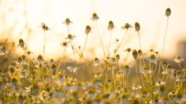 Matricaria chamomille em flor em aglomerados de luz aromáticos do sol de flores de cabeças de stalked longas