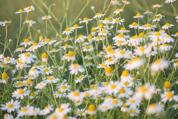 Matricaria chamomille em flor na temporada de primavera-aglomerados aromáticos de flores de cabeças de hastes longas